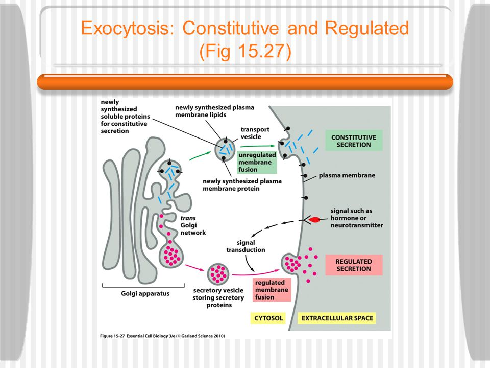 Exocytosis: Constitutive and Regulated (Fig 15.27)