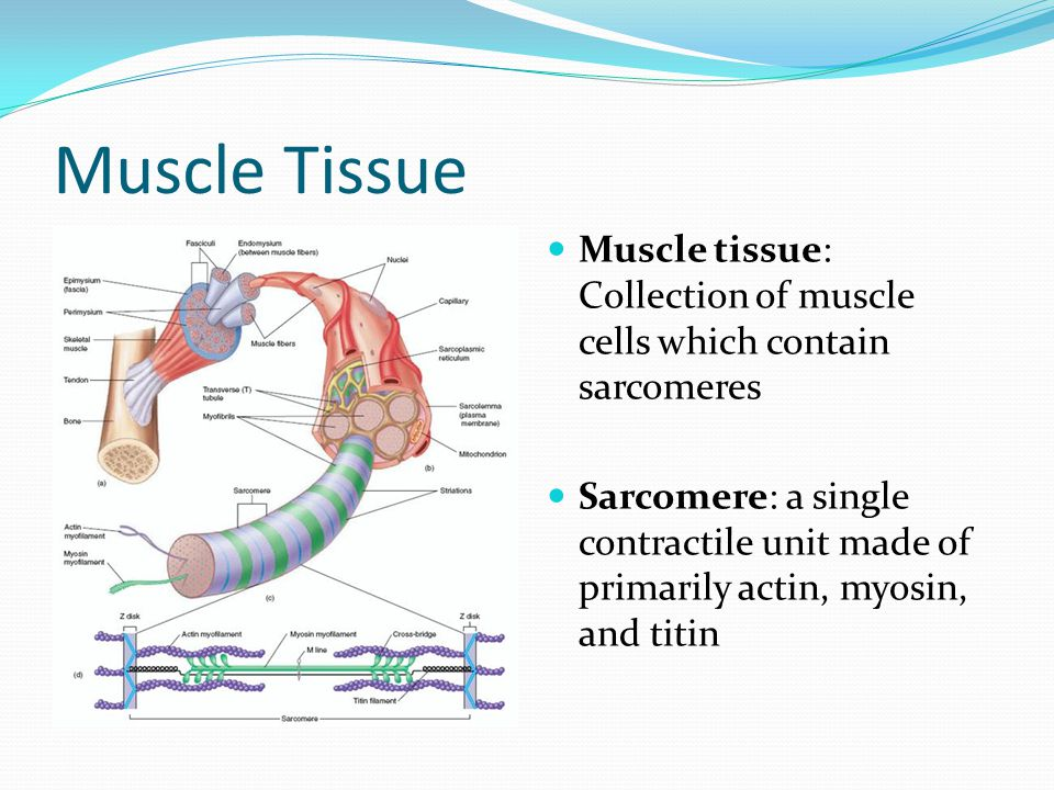 Muscle Tissue Muscle tissue: Collection of muscle cells which contain sarcomeres Sarcomere: a single contractile unit made of primarily actin, myosin, and titin