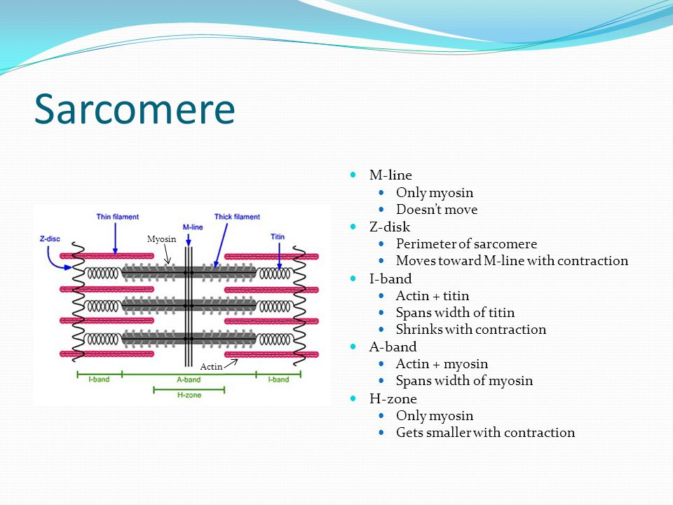 Sarcomere M-line Only myosin Doesn't move Z-disk Perimeter of sarcomere Moves toward M-line with contraction I-band Actin + titin Spans width of titin Shrinks with contraction A-band Actin + myosin Spans width of myosin H-zone Only myosin Gets smaller with contraction Actin Myosin