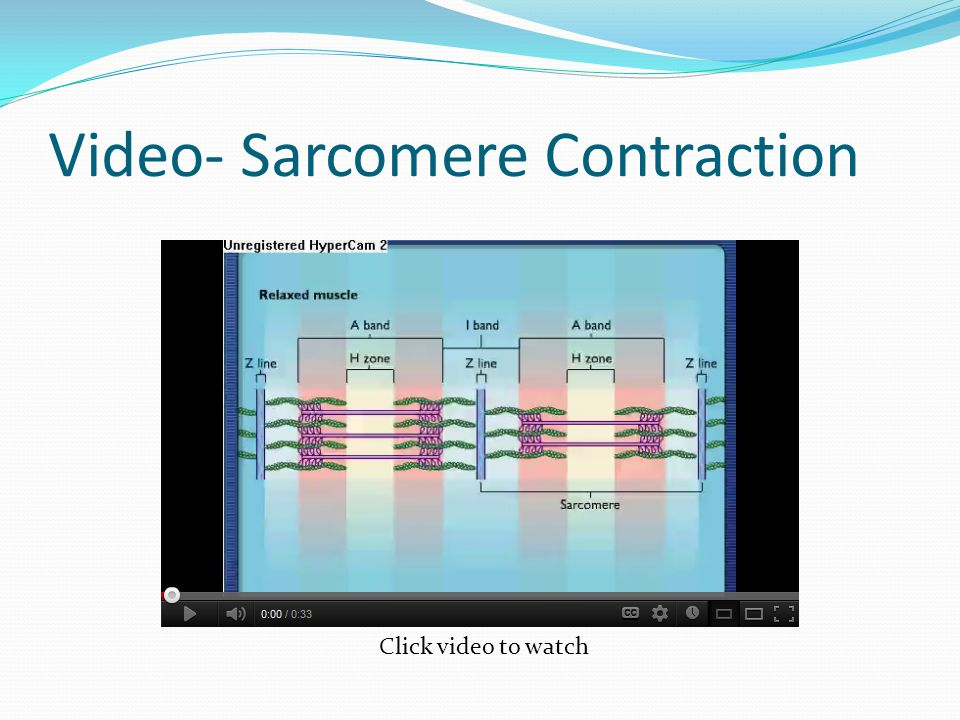 Video- Sarcomere Contraction Click video to watch