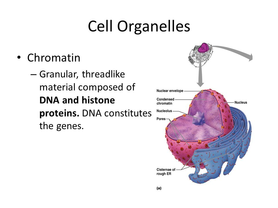 Cell Organelles Chromatin – Granular, threadlike material composed of DNA and histone proteins.