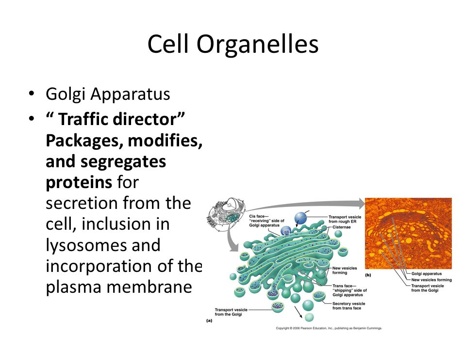 Cell Organelles Golgi Apparatus Traffic director Packages, modifies, and segregates proteins for secretion from the cell, inclusion in lysosomes and incorporation of the plasma membrane
