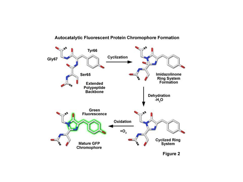 GFP and chromophore -Covalently bonded chromophore : 4-(p-hydroxybenzylidene)imidazolidin-5-one (HBI).