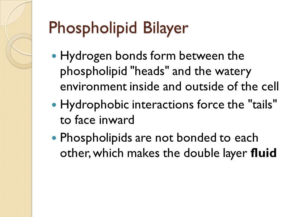 Phospholipid Bilayer Hydrogen bonds form between the phospholipid