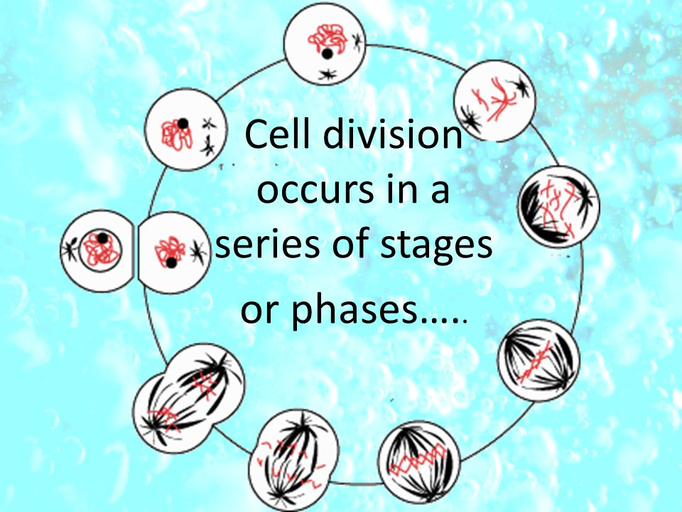 Cell division occurs in a series of stages or phases…..