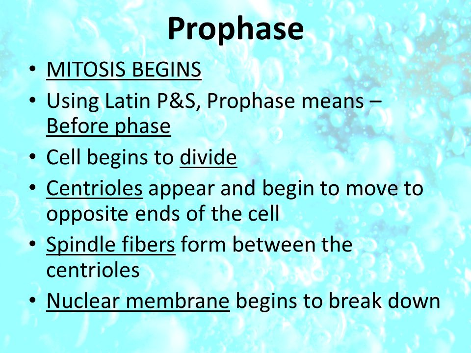 Prophase MITOSIS BEGINS Using Latin P&S, Prophase means – Before phase Cell begins to divide Centrioles appear and begin to move to opposite ends of the cell Spindle fibers form between the centrioles Nuclear membrane begins to break down