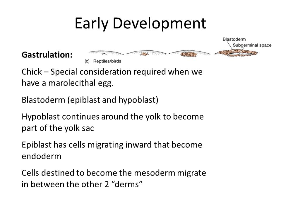 Early Development Gastrulation: Chick – Special consideration required when we have a marolecithal egg.