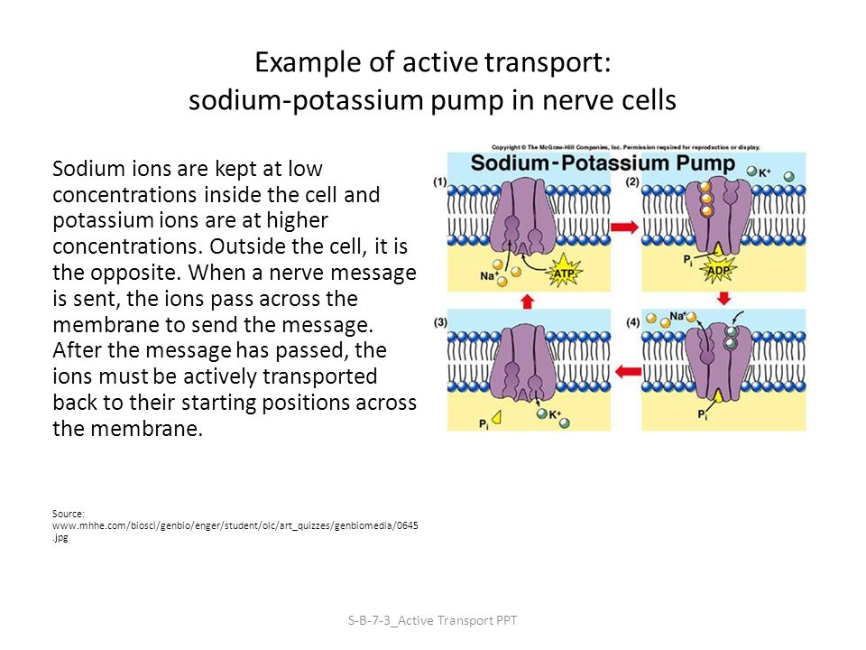 Example of active transport: sodium-potassium pump in nerve cells Sodium ions are kept at low concentrations inside the cell and potassium ions are at higher concentrations.