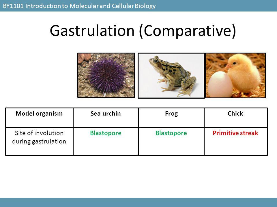 Gastrulation (Comparative) BY1101 Introduction to Molecular and Cellular Biology Blastopore Primitive streakSite of involution during gastrulation Sea