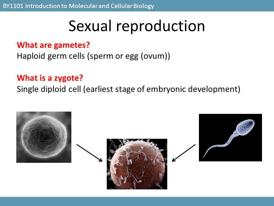 BY1101 Introduction to Molecular and Cellular Biology Mitosis: Process of nuclear division in eukaryotic cells Conserves chromosome number by allocating replicated chromosomes equally to each of the daughter nuclei Meiosis: Modified form of cell division in sexually reproducing organisms Involves two round of cell division but only one round of DNA replication Produces cells with half the numbers of chromosome sets as the original cell How do the gametes form?