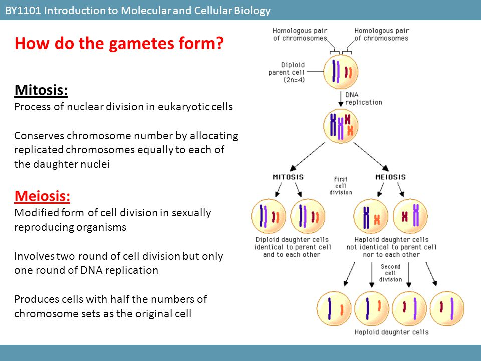 The stage at which the embryonic germ layers localise into the basic structure of organs BY1101 Introduction to Molecular and Cellular Biology What is organogenesis.