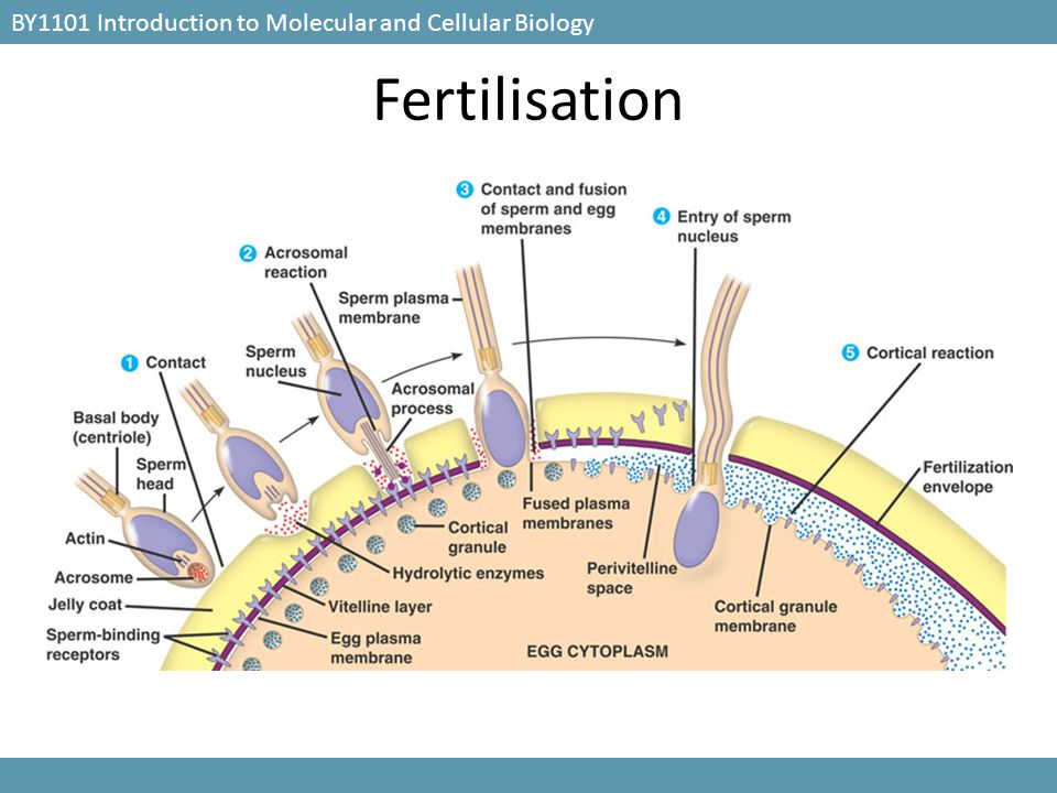 Fertilisation BY1101 Introduction to Molecular and Cellular Biology