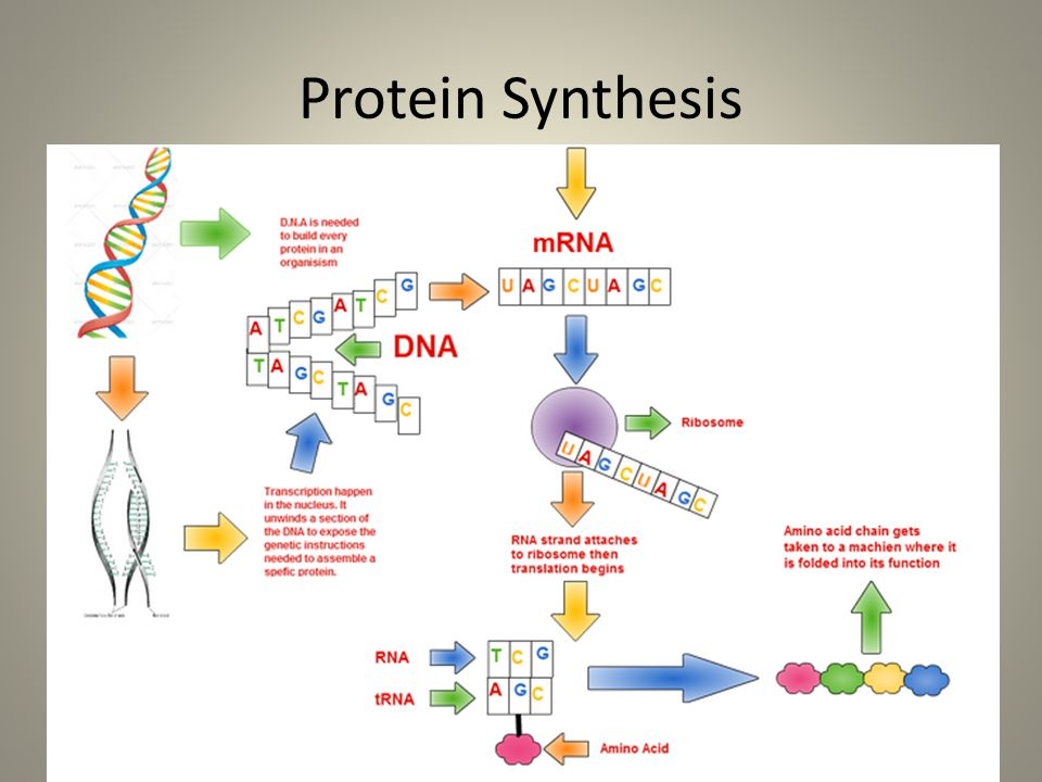 Gene Action: Protein Synthesis On your own, this is also a biology review topic Information found on pages 64-65 of your textbook.