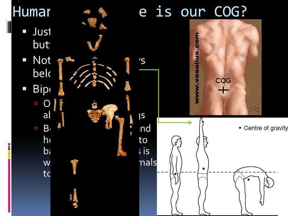 Humans - Where is our COG?  Just below our belly button  Notice, support always below COG  Bipedalism??  Only mammals w/ this ability to walk on 2