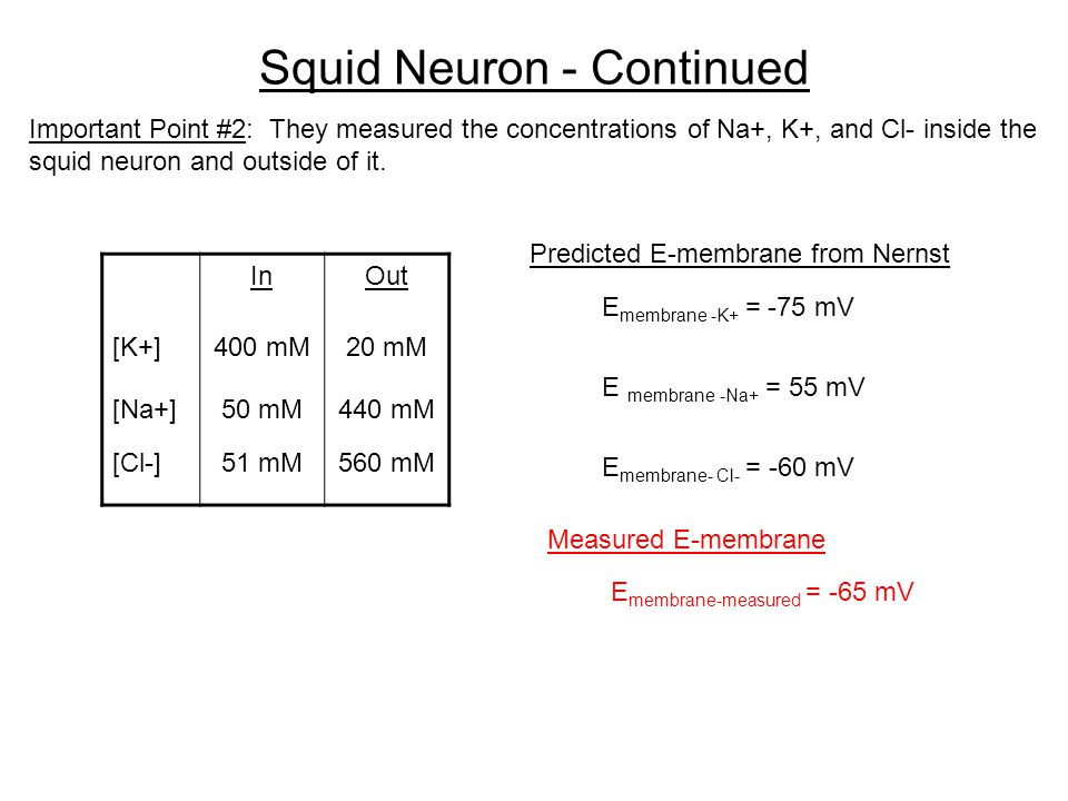Squid Neuron - Continued Important Point #2: They measured the concentrations of Na+, K+, and Cl- inside the squid neuron and outside of it.