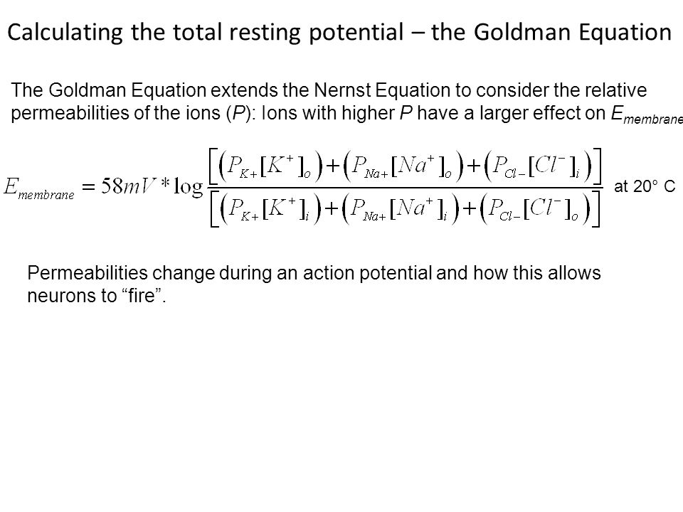 at 20° C The Goldman Equation extends the Nernst Equation to consider the relative permeabilities of the ions (P): Ions with higher P have a larger effect on E membrane Calculating the total resting potential – the Goldman Equation Permeabilities change during an action potential and how this allows neurons to fire .