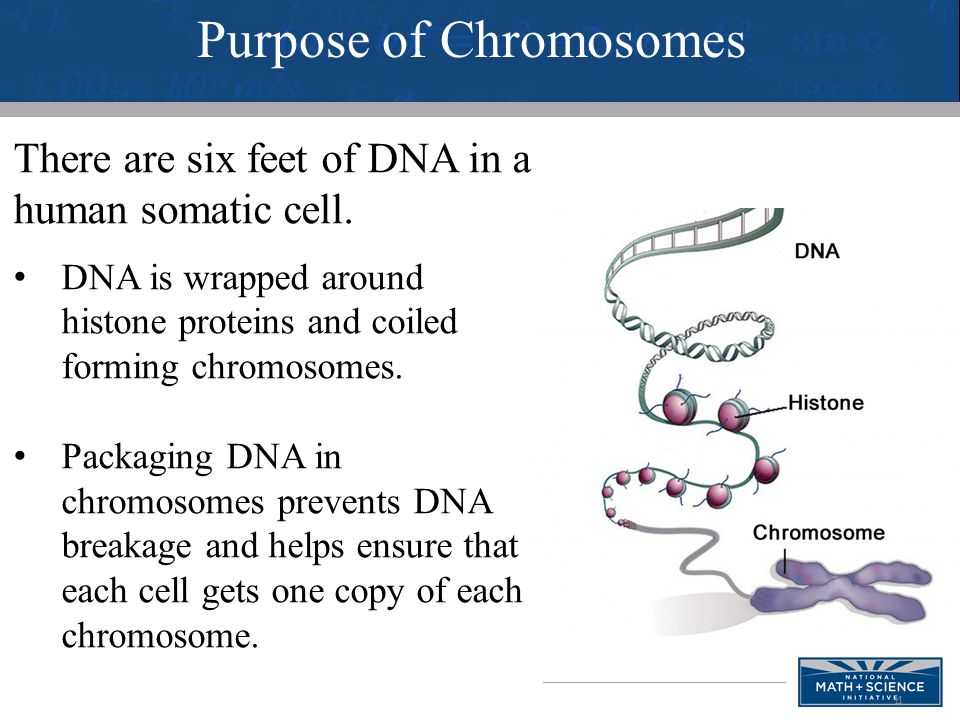 5 During interphase, the DNA forms chromatin.