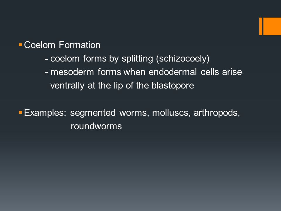  Coelom Formation - coelom forms by splitting (schizocoely) - mesoderm forms when endodermal cells arise ventrally at the lip of the blastopore  Examples: segmented worms, molluscs, arthropods, roundworms
