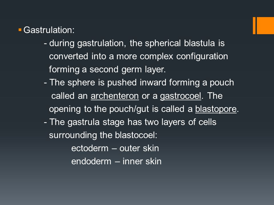  Gastrulation: - during gastrulation, the spherical blastula is converted into a more complex configuration forming a second germ layer. - The sphere