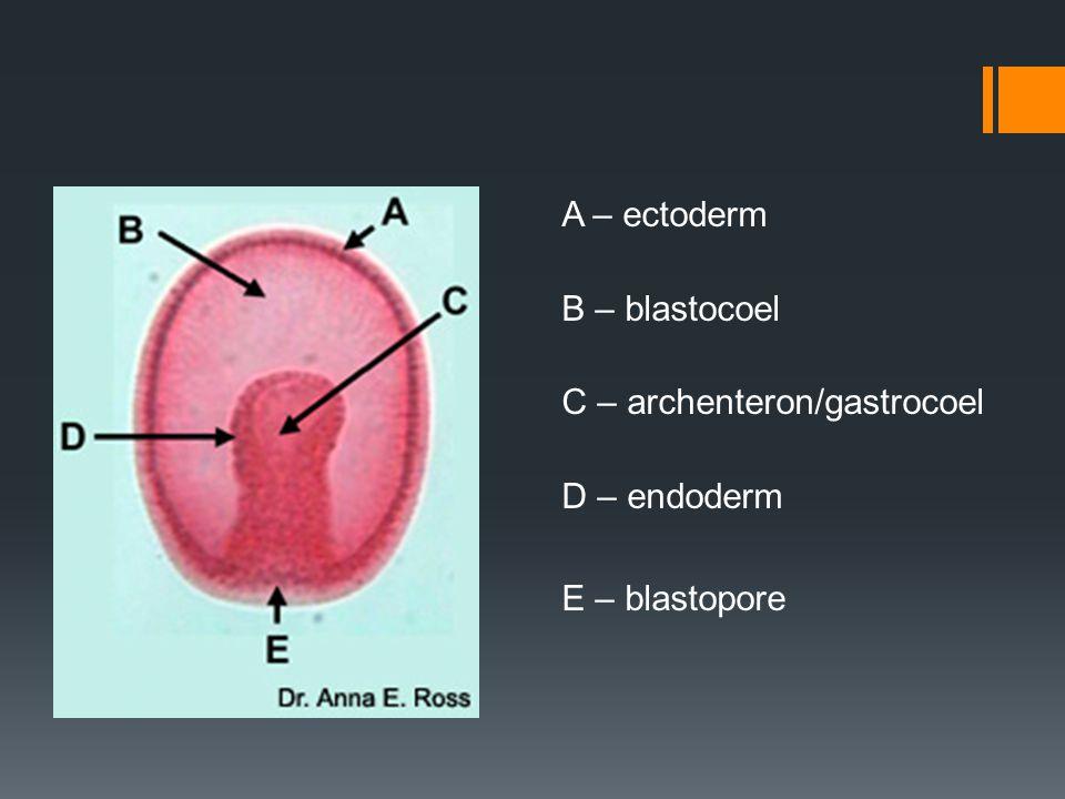 A – ectoderm B – blastocoel C – archenteron/gastrocoel D – endoderm E – blastopore