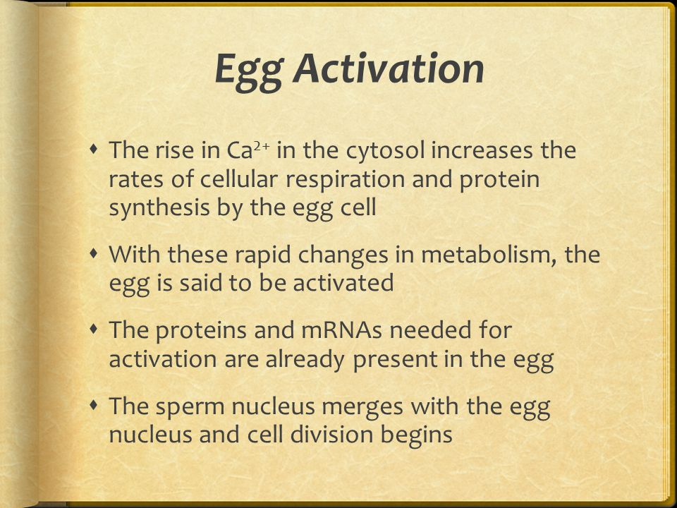 Egg Activation  The rise in Ca 2+ in the cytosol increases the rates of cellular respiration and protein synthesis by the egg cell  With these rapid
