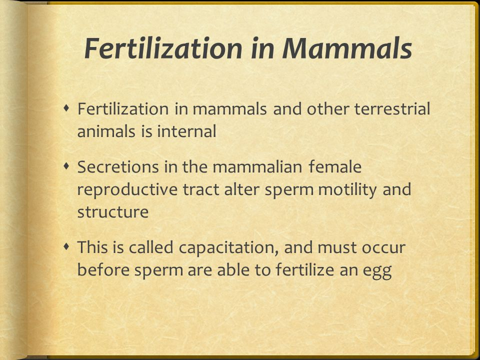 Fertilization in Mammals  Fertilization in mammals and other terrestrial animals is internal  Secretions in the mammalian female reproductive tract