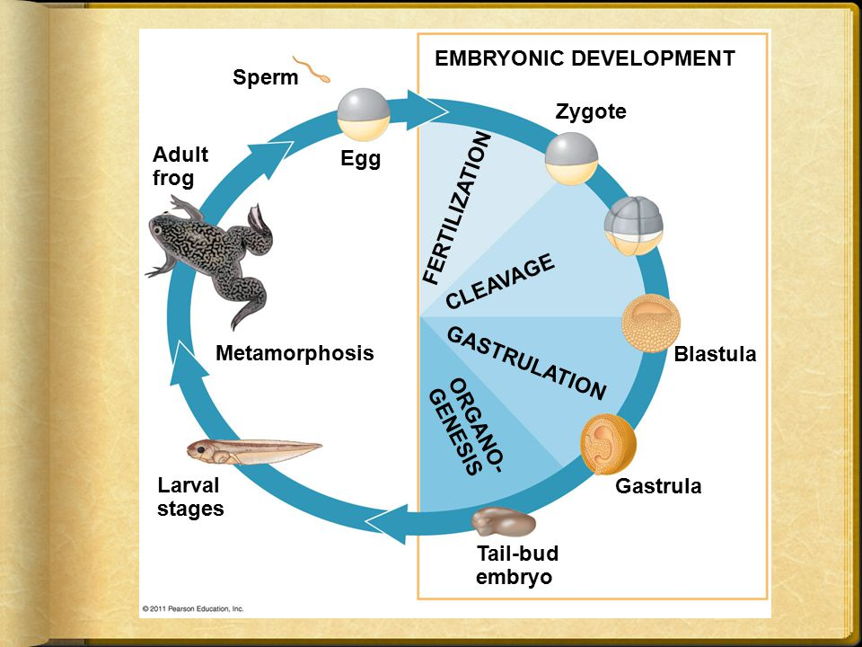  In both adaptations, embryos are surrounded by fluid in a sac called the amnion  This protects the embryo from desiccation and allows reproduction on dry land  Mammals and reptiles including birds are called amniotes for this reason  The four extraembryonic membranes that form around the embryo  The chorion functions in gas exchange  The amnion encloses the amniotic fluid  The yolk sac encloses the yolk  The allantois disposes of waste products and contributes to gas exchange