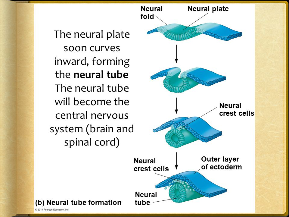 (b) Neural tube formation Neural fold Neural plate Neural crest cells Outer layer of ectoderm Neural crest cells Neural tube The neural plate soon cur