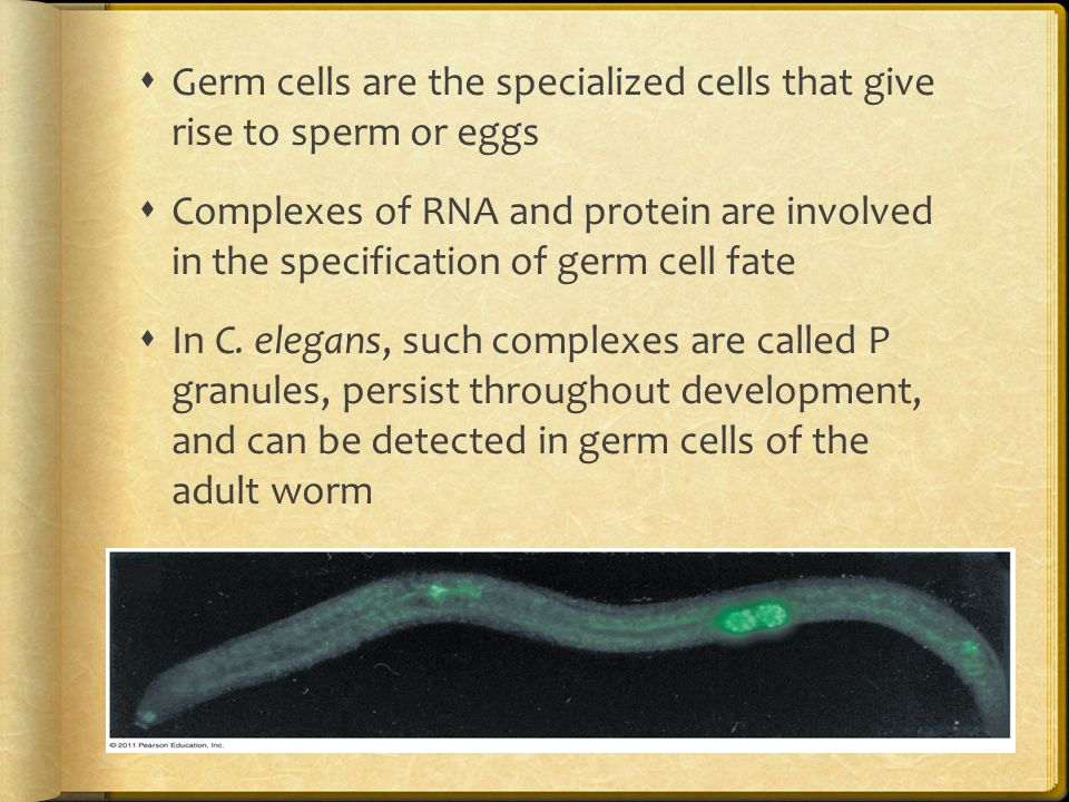  Germ cells are the specialized cells that give rise to sperm or eggs  Complexes of RNA and protein are involved in the specification of germ cell f