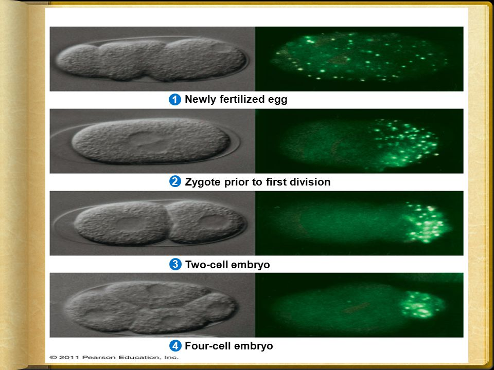 Newly fertilized egg Zygote prior to first division Two-cell embryo Four-cell embryo 2134