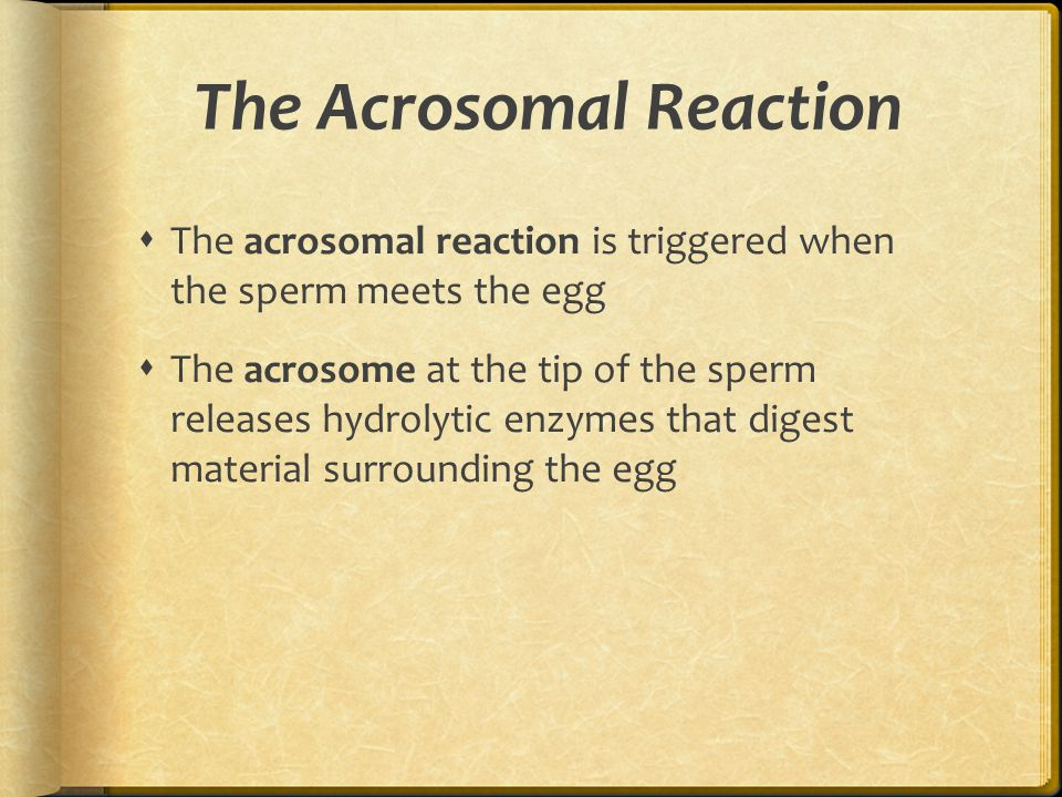 The Acrosomal Reaction  The acrosomal reaction is triggered when the sperm meets the egg  The acrosome at the tip of the sperm releases hydrolytic e