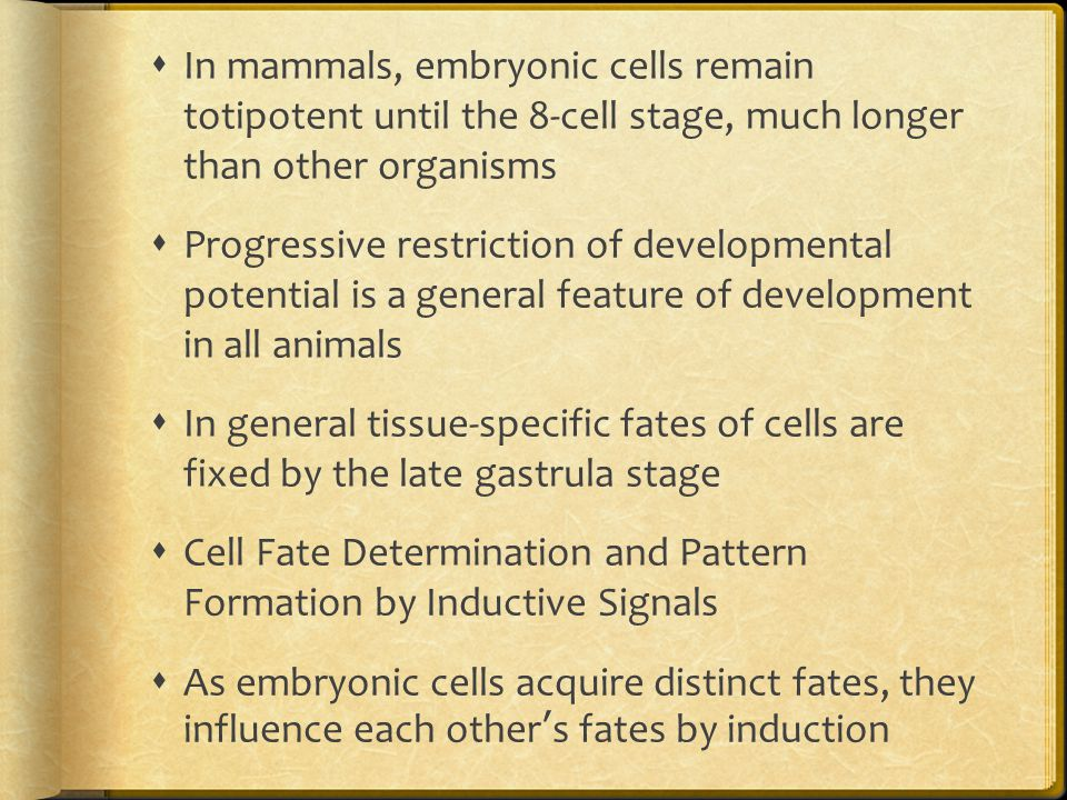  In mammals, embryonic cells remain totipotent until the 8-cell stage, much longer than other organisms  Progressive restriction of developmental po