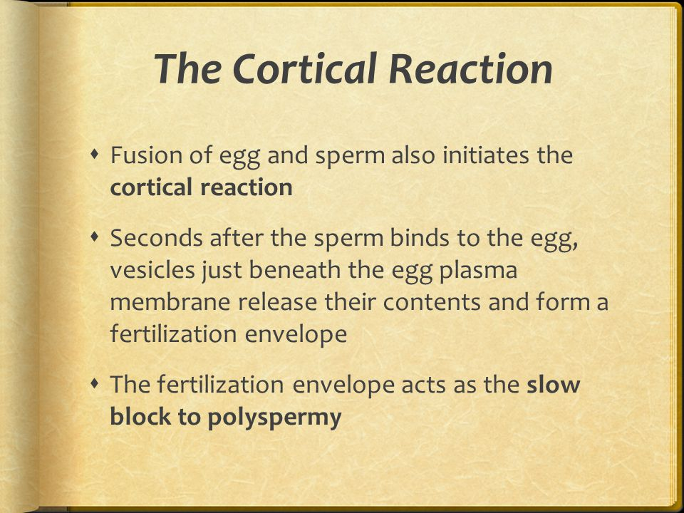 The Cortical Reaction  Fusion of egg and sperm also initiates the cortical reaction  Seconds after the sperm binds to the egg, vesicles just beneath