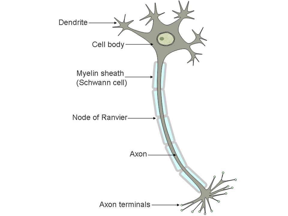 CLASSIFICATION OF NEURONS Neurons differ in structure, size, and shape of their cell bodies.
