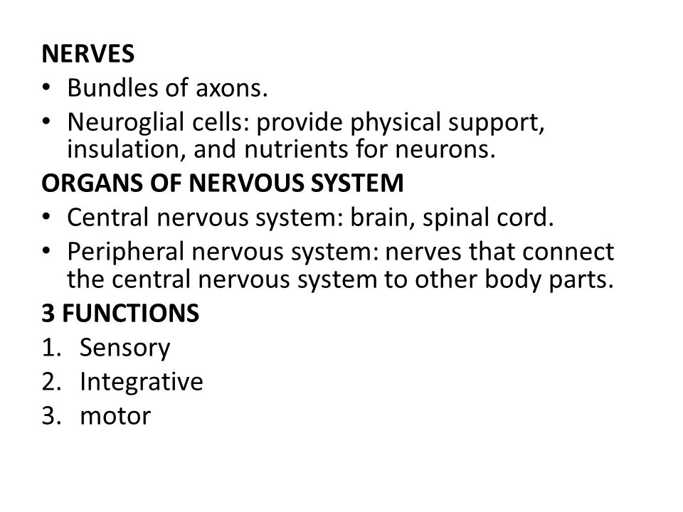 NERVES Bundles of axons. Neuroglial cells: provide physical support, insulation, and nutrients for neurons. ORGANS OF NERVOUS SYSTEM Central nervous s
