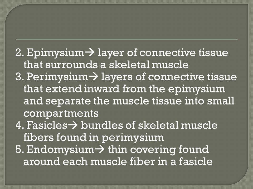 2. Epimysium  layer of connective tissue that surrounds a skeletal muscle 3.