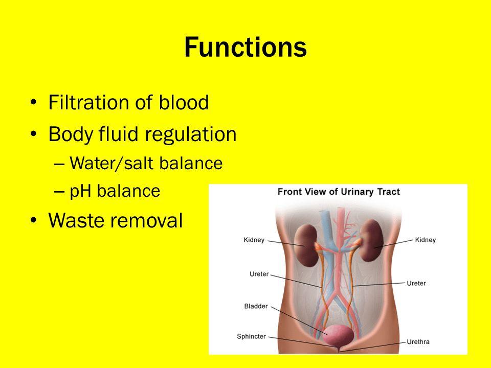 Functions Filtration of blood Body fluid regulation – Water/salt balance – pH balance Waste removal