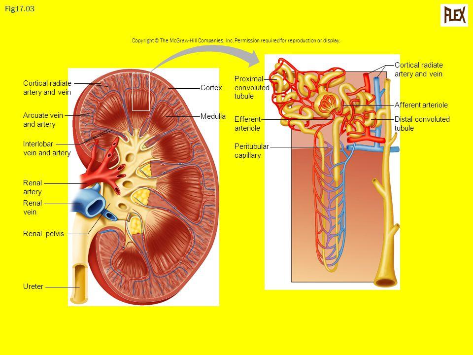 Fig17.03 Cortex Medulla Renal artery Renal pelvis Renal vein Ureter Cortical radiate artery and vein Interlobar vein and artery Arcuate vein and arter