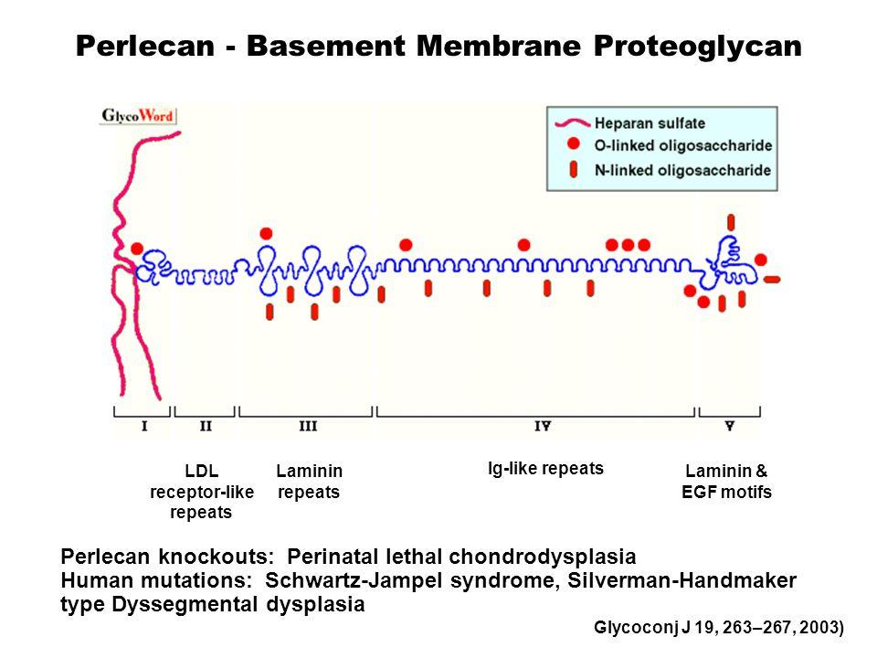 Perlecan - Basement Membrane Proteoglycan LDL receptor-like repeats Laminin repeats Ig-like repeats Laminin & EGF motifs 467 KDa Perlecan knockouts: P