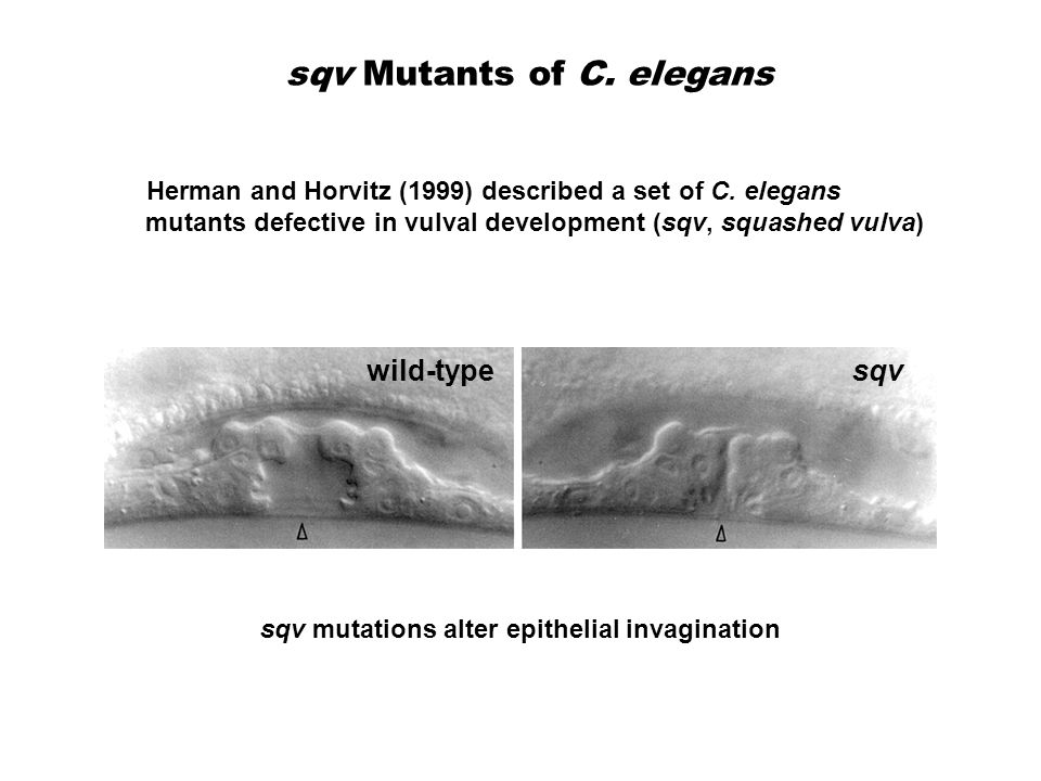 sqv Mutants of C. elegans Herman and Horvitz (1999) described a set of C.