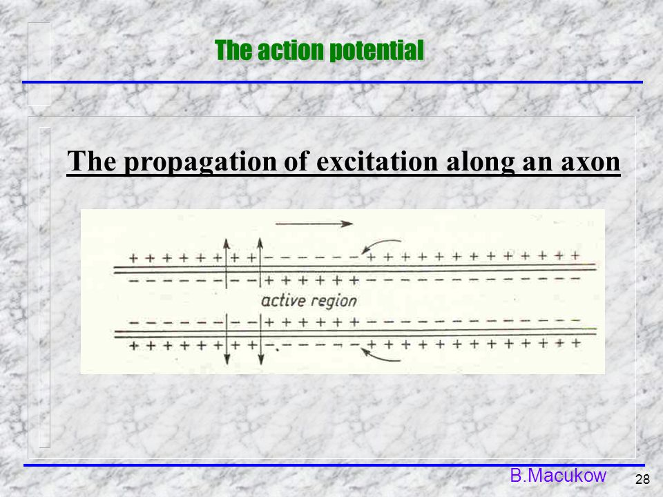 B.Macukow 28 The propagation of excitation along an axon The action potential