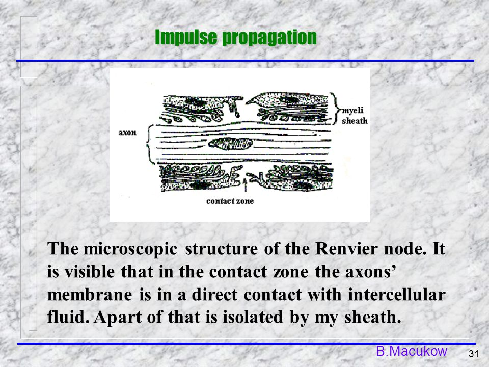 B.Macukow 31 The microscopic structure of the Renvier node. It is visible that in the contact zone the axons' membrane is in a direct contact with int