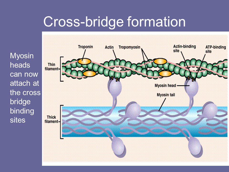 Cross-bridge formation Myosin heads can now attach at the cross bridge binding sites