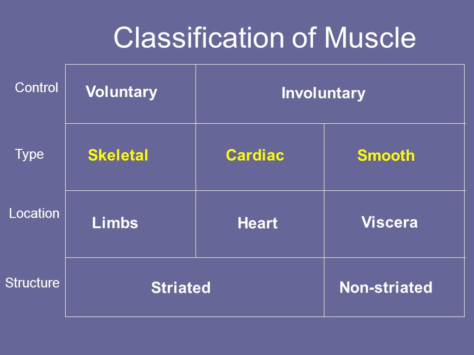 Classification of Muscle Voluntary Involuntary Skeletal Cardiac Smooth Limbs Heart Viscera Striated Non-striated SkeletalCardiac Smooth Note: Control, Location and Structure Control Location Type Structure