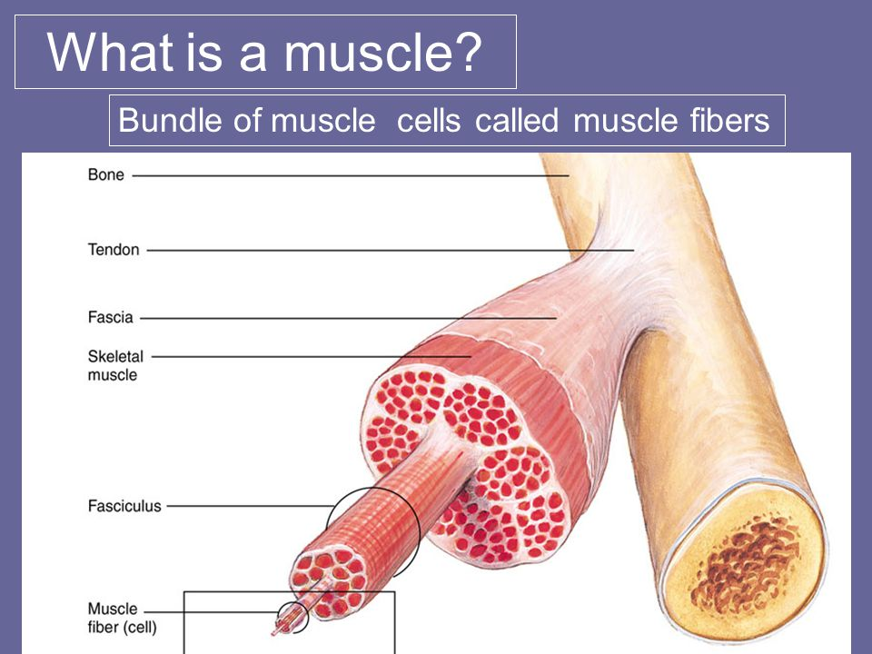 What is a muscle Bundle of muscle cells called muscle fibers