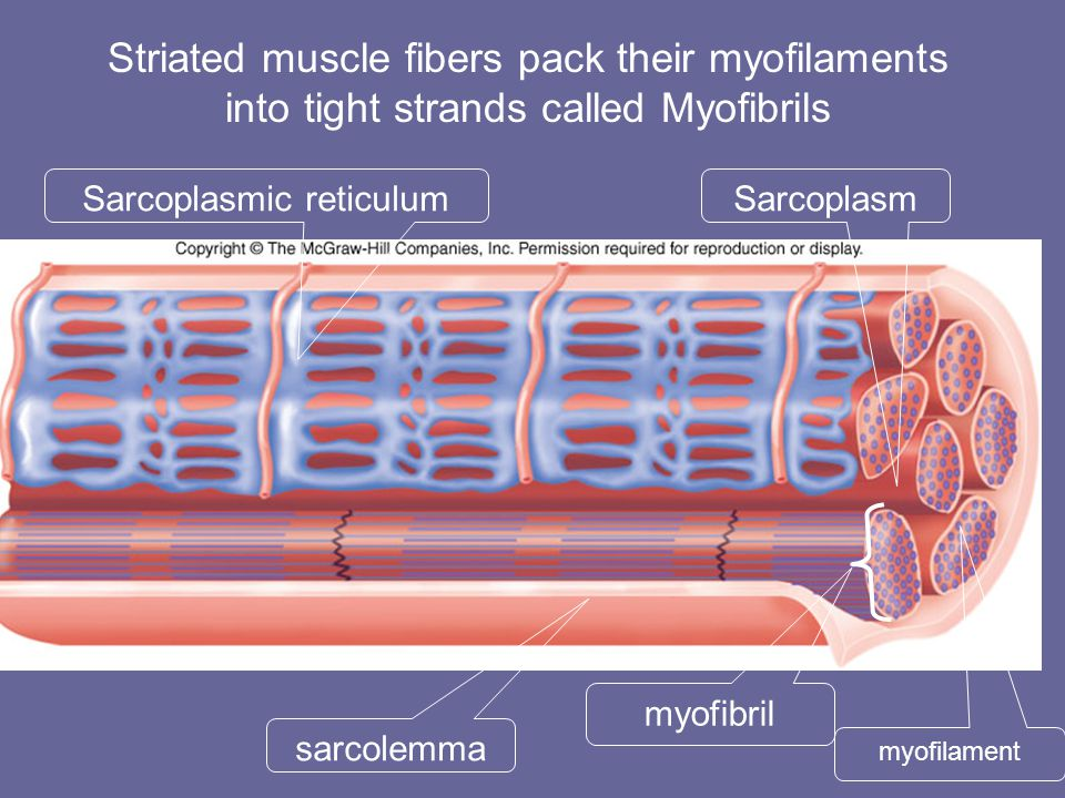 myofibril sarcolemma SarcoplasmSarcoplasmic reticulum Striated muscle fibers pack their myofilaments into tight strands called Myofibrils myofilament