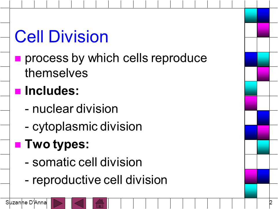 Suzanne D Anna13 Somatic Cell Division n results in an increase in number of cells in body (growth, repair) n Cell life cycle has two major periods: - interphase (resting stage) - mitotic phase (cell division reproduction occurs)