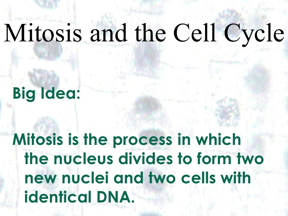 1 1 Mitosis and the Cell Cycle Big Idea: Mitosis is the process in which the nucleus divides to form two new nuclei and two cells with identical DNA.