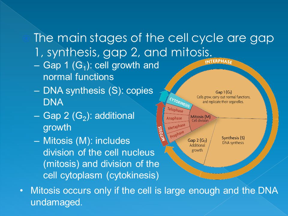  The main stages of the cell cycle are gap 1, synthesis, gap 2, and mitosis.