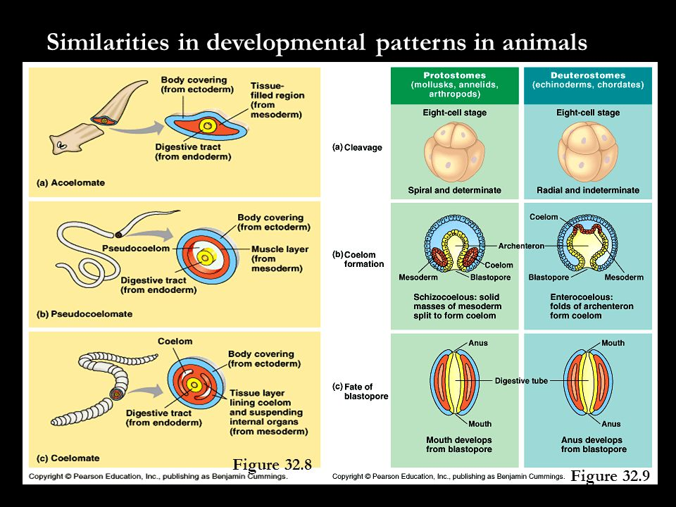 Similarities in developmental patterns in animals Figure 32.8 Figure 32.9
